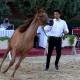 purebred Arabian horses show